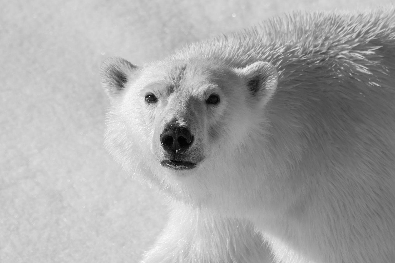 Polar-Bear-Closeup>